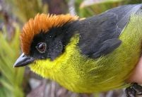 The Yariguies Brush-Finch
