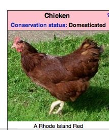 This chicken is under attack [Click to enlarge]