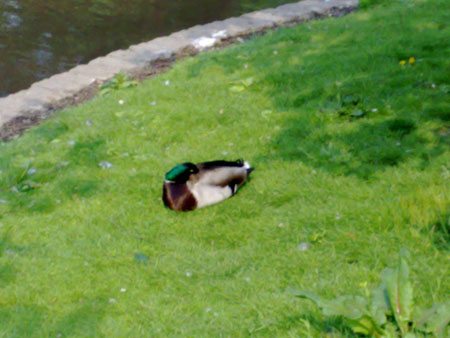N95 vs Cyber-shot - N95 duck as max digital zoom