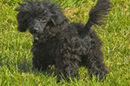 Harry the Rottweiler - aka small poodle called Patsy