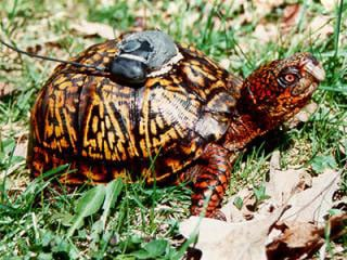 GPS_turtle_SMALL