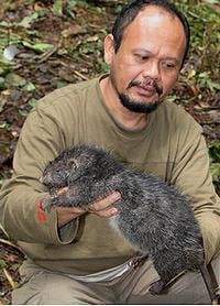 The giant rat from the Foja Mountains. Pic: Bruce Beehler / Conservation International