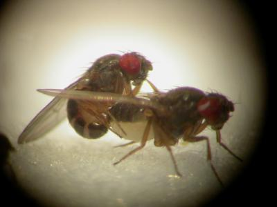 Drosophila pseudoobscura getting it on. Credit: Exeter Uni