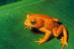 The extinct golden toad of the Monteverde cloud forests. Credit: US Fish &amp; Wildlife Service