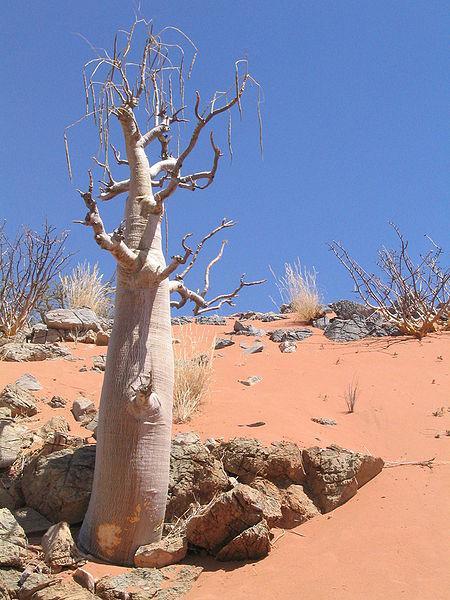 Moringa tree in Namibia. Credit: Violet Gottrop