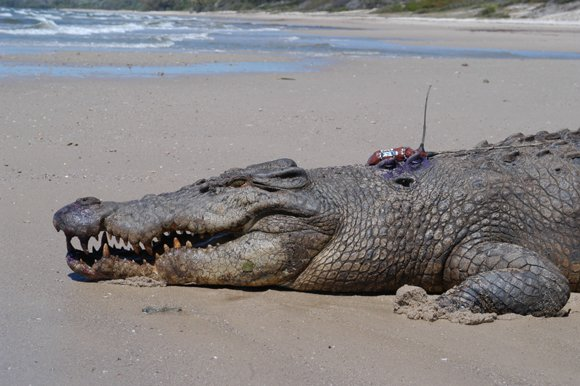 A croc bugged by Steve Irwin. Credit: Australia Zoo