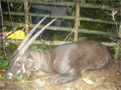 The rare saola (or 'unicorn') of the Annamite mountains. Credit: Bolikhamxay Provincial