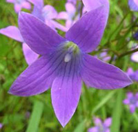the spreading bellflower (Campanula patula)