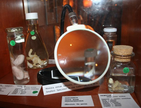 Magnifying glass in front of hamster penis exhibit. Pic: M.O/The Icelandic Phallological Museum
