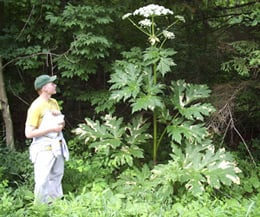 A giant hogweed. Pic: Department of Environmental Conservation