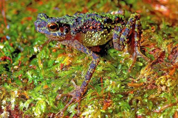 The Borneo rainbow toad. Pic: Indraneil Das