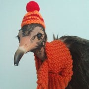 Reg, the stuffed hooded vulture, with hat and scarf