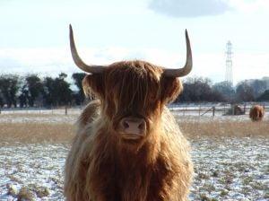 Angus Highland cow