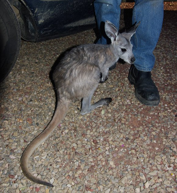 A rescued joey
