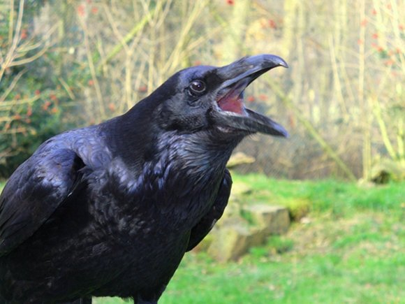 Raven croaking