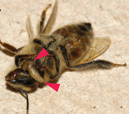 Parasite burrows out of bee