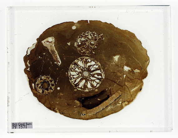 Fossilised tree in Darwin collection, credit British Geological Survey