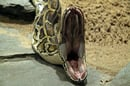 Open-mouthed Burmese python