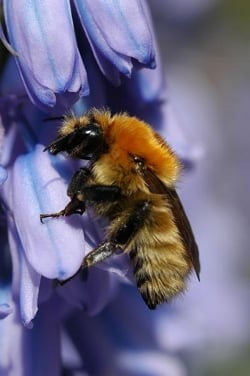 A moss carder bumblebee