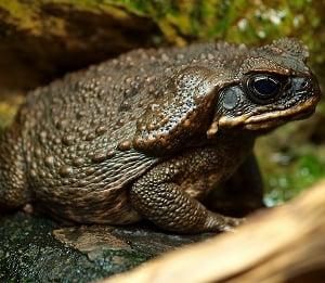 Bufo marinus (aka Cane Toad) - a regular four-legged version