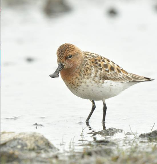 Sandbill Piper, also endangered, credit IUCN Baz Scampion