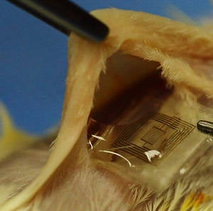 Boffins insert dissolvable implant into a lab rat