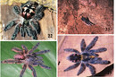 New species of tree tarantula, credit R. Bertani, published Zookeys