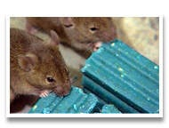 Some rats tucking into anti-coagulant doom, credit Bell Labs