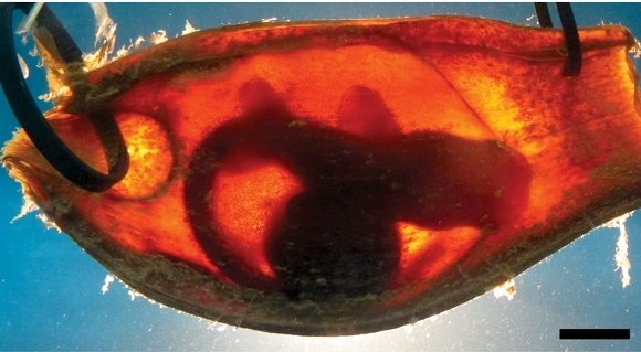 Shark embryo in an egg case