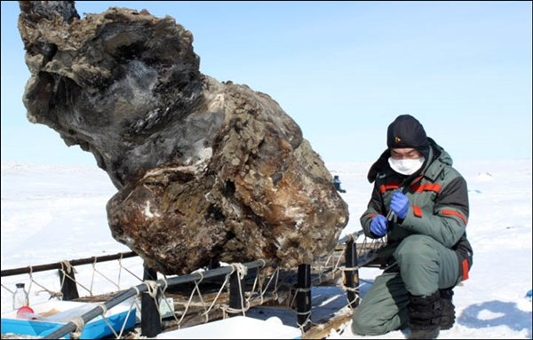 The carcass of a frozen mammoth
