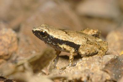 Gardiner's frog