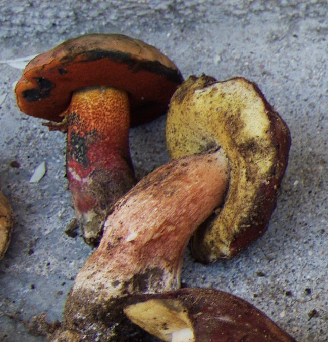 A couple of Boletus erythropus