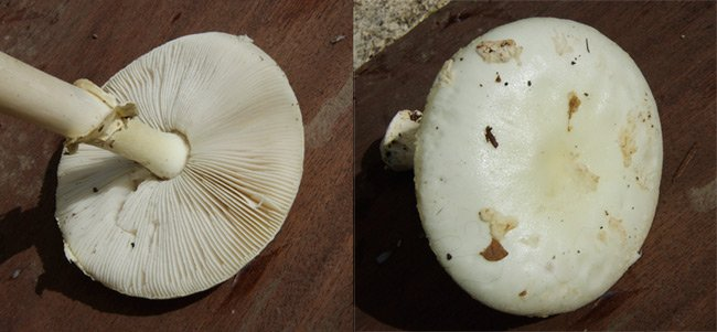 Two views of Amanita phalloides