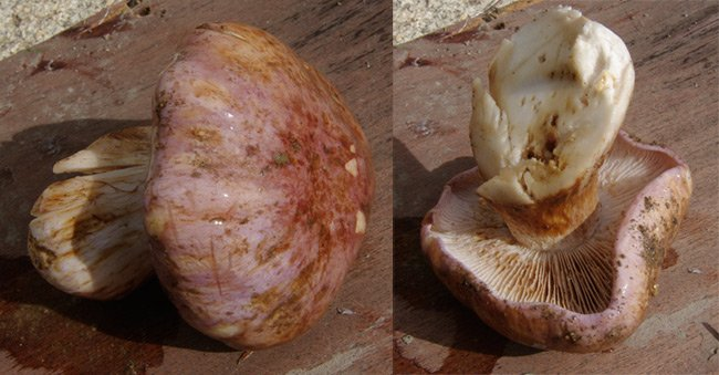Two views of a possible member of the genus Cortinarius
