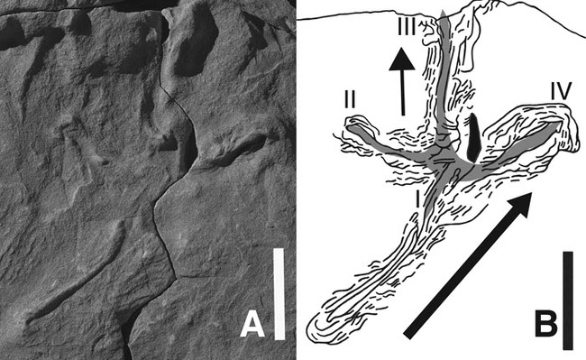 Photo of the sandstone fossil along with a drawing illustrating the track