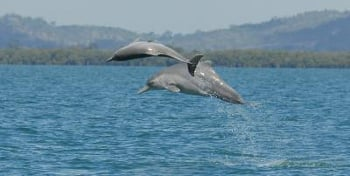 New humpback dolphin species