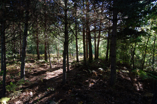 A pine grove in the village