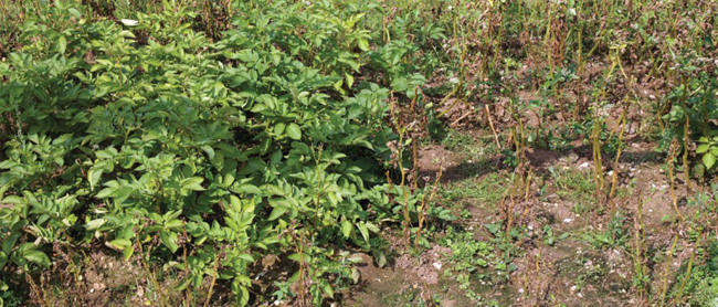 GM and non-GM potatoes in the trial, with the latter wiped out by potato blight