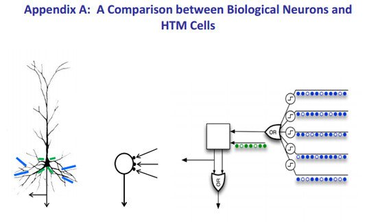 Illustration: A comparison between biological neurons and HTM cells