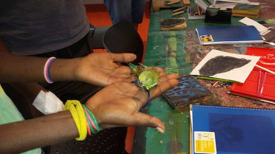 A baby budgie in the Wirliyatjarrayi Learning Centre