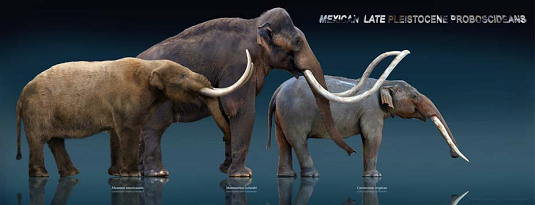 From left to right: Mastodon, mammoth, gomphothere