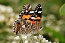 Australian_painted_lady_feeding