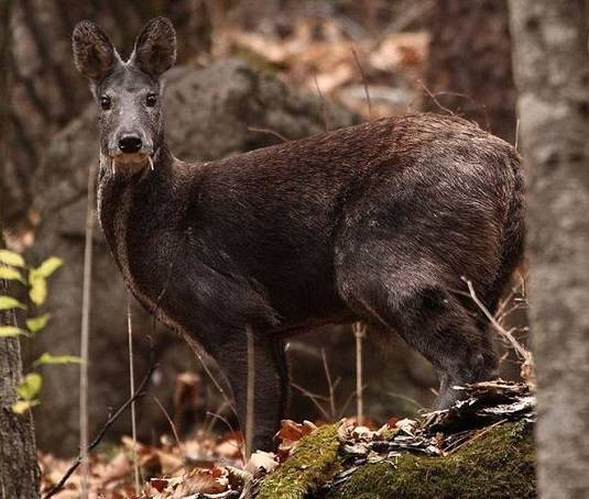 Scientists uncover Afghan VAMPIRE DEER!
