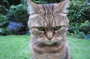 Angry-looking cat. Pic by  Guyon Morée from Beverwijk, Netherlands. licensed under the Creative Commons Attribution 2.0 Generic license