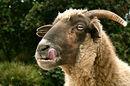 Hungry goat licks lips. Pic: David Goehring