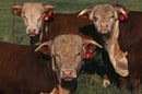 Three cows image via Shutterstock