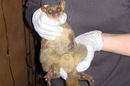 The northern giant mouse lemur and its improbably large testicles. Pic: Melanie Seiler