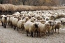Sheep, image via Shutterstock