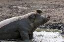Pig in mud, image via Shutterstock
