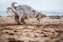 a HUSKY DOG DIGS A HOLE ON THE BEACH. pHOTO BY shUTTERSTOCK